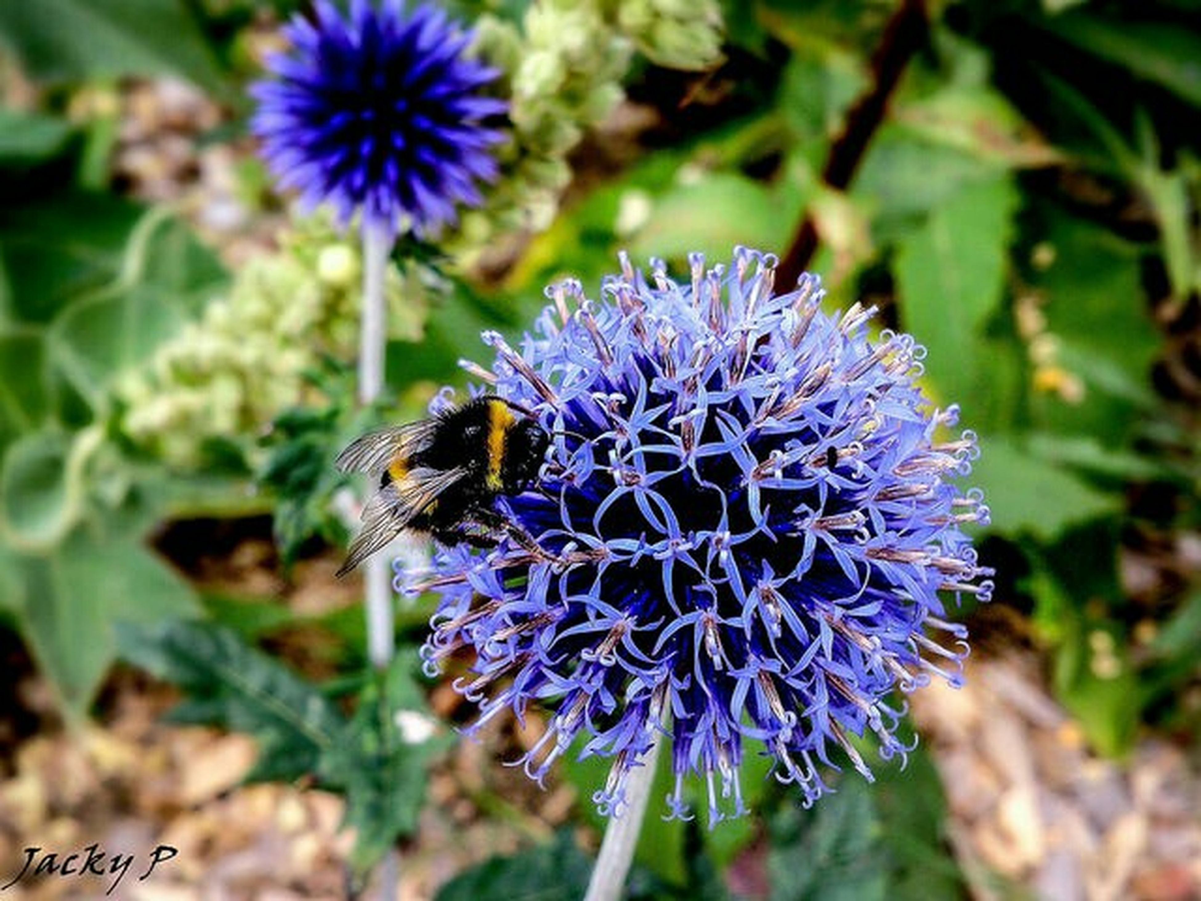 flower, purple, freshness, growth, fragility, flower head, focus on foreground, close-up, beauty in nature, petal, plant, nature, blooming, thistle, insect, animals in the wild, animal themes, in bloom, one animal, day