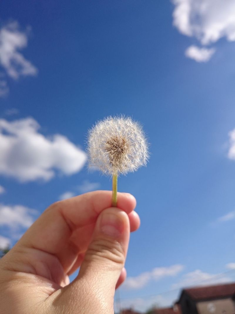 Human Body Part Human Hand Sky Cloud - Sky Flower Holding One Person Fragility Close-up People Blue Outdoors Day Low Angle View Nature Freshness Adult Beauty In Nature Adults Only Flower Head Dandelion Seed Dandelion Close-up Beauty In Nature Fragile