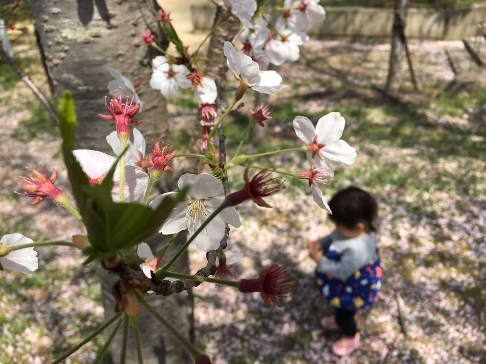 Japan Cherry Blossoms Flowers Baby Child