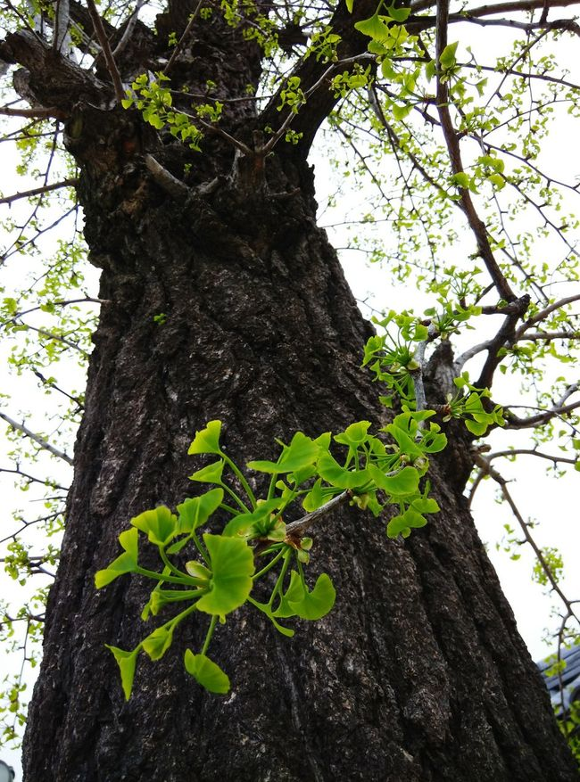 Ginko young leaves Taking Photos Old Tree Rightplacerighttime Spring Has Arrived Shitennoji Osaka,Japan