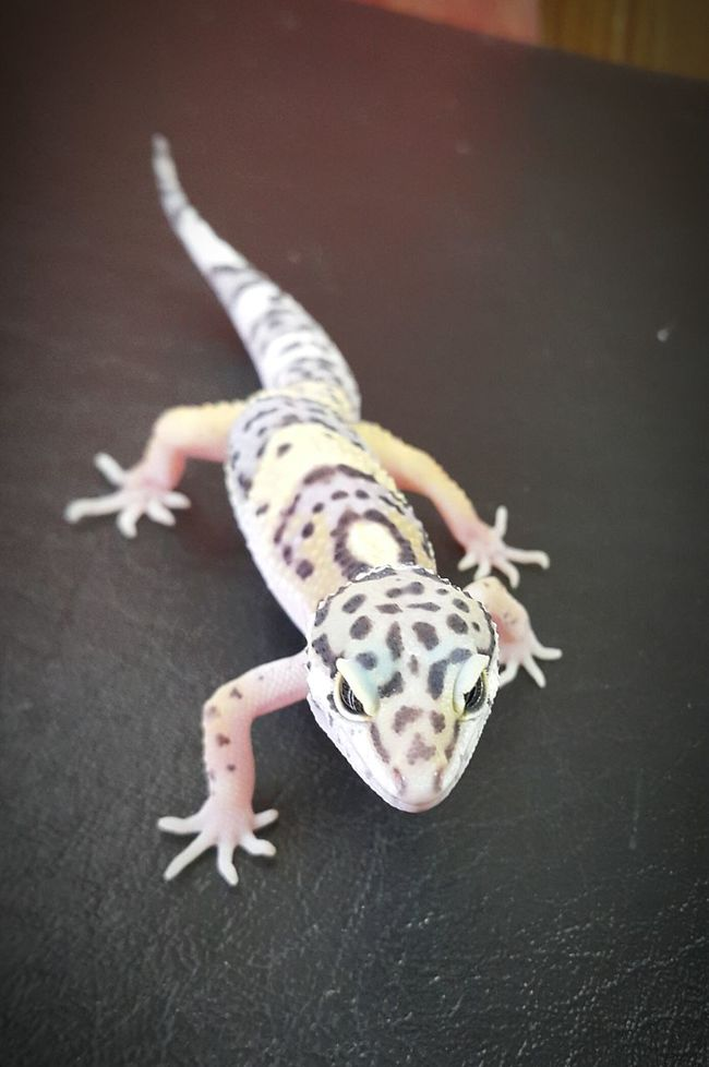Leopard Gecko Leopardgecko Reptile Reptiles Scaley Roughandcute Smiley Amazing Nature GottaCatchEmAll Geckolove Geckomadness