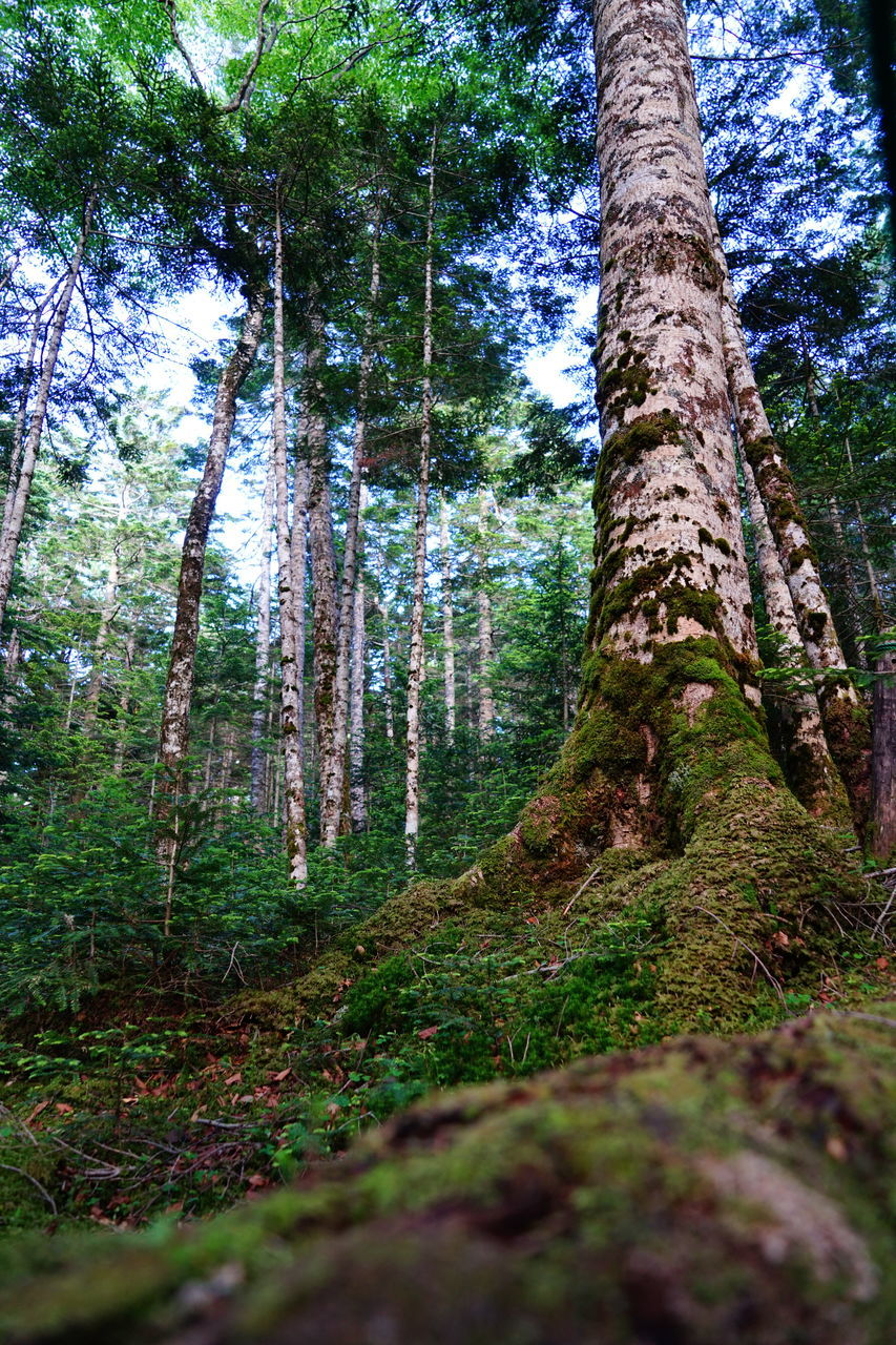 tree trunk, tree, forest, nature, tranquility, beauty in nature, tranquil scene, growth, day, scenics, no people, outdoors, woodland, low angle view, landscape, sky