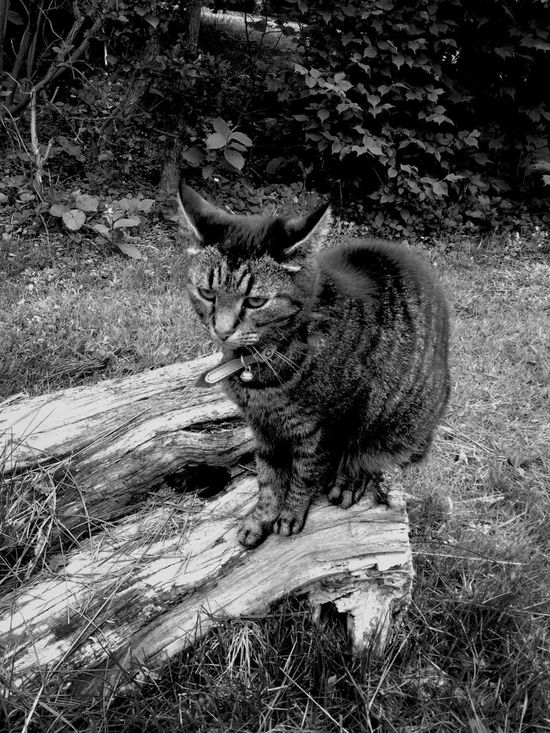 Sigrid the tailless cat Cat Blackandwhite Nature_collection Eye4photography