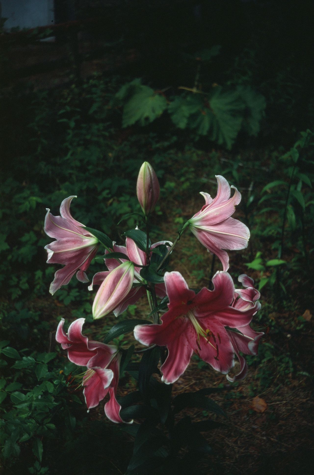 Flowers Lily Garden Pink Check This Out Rouge Pretty Adore Smell Aroma