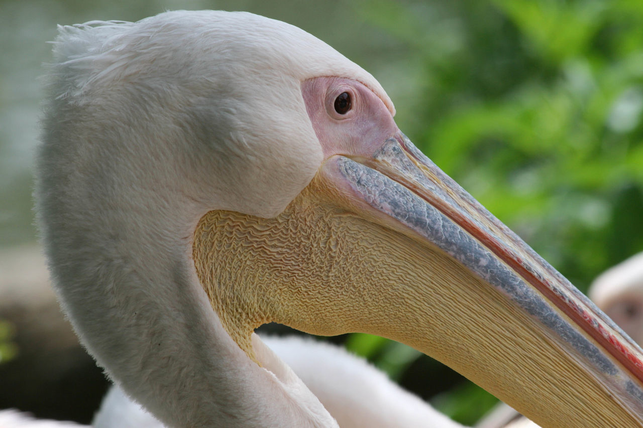 Animal Themes Beauty In Nature Bird Close-up One Animal Pelican Pink Zoo Basel