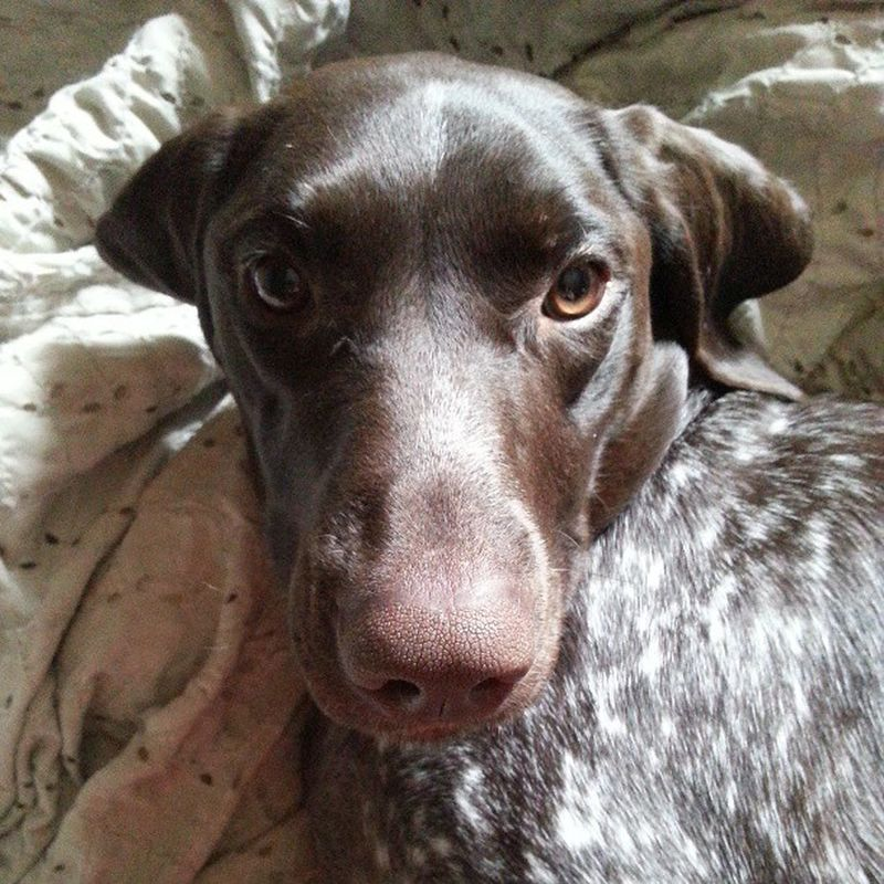 Wiggles bieng cute. Puppy Dog Cute Germanshorthairedpointer gsp face