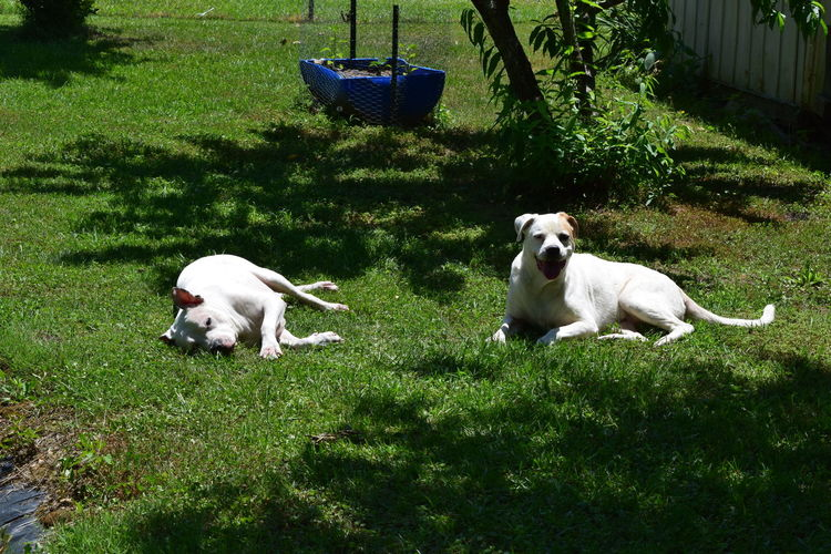 Animal Themes Dog Domestic Animals Lying Down No People Outdoors Pets Pit Bull Lover & Supporter Pitbull♥ Pitbulls Pitbull Montgomery, Al.