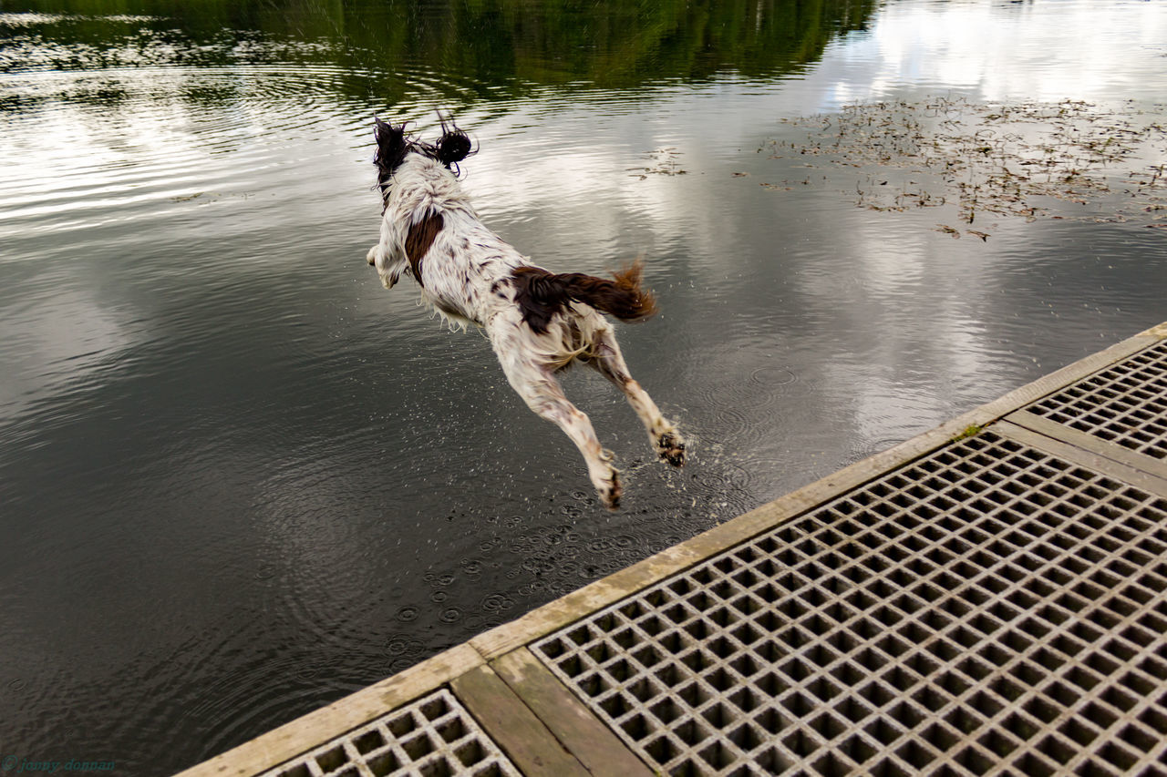 Diving Beauty In Nature Day Diving Dog Dog Love Dogs Of EyeEm Elevated View Freeze Instagood Jump Lake Lakeshore Nature No People Outdoors Reflection Reflection Rippled Scenics Springer Spaniel Standing Water Tranquil Scene Tranquility Water Water Reflections