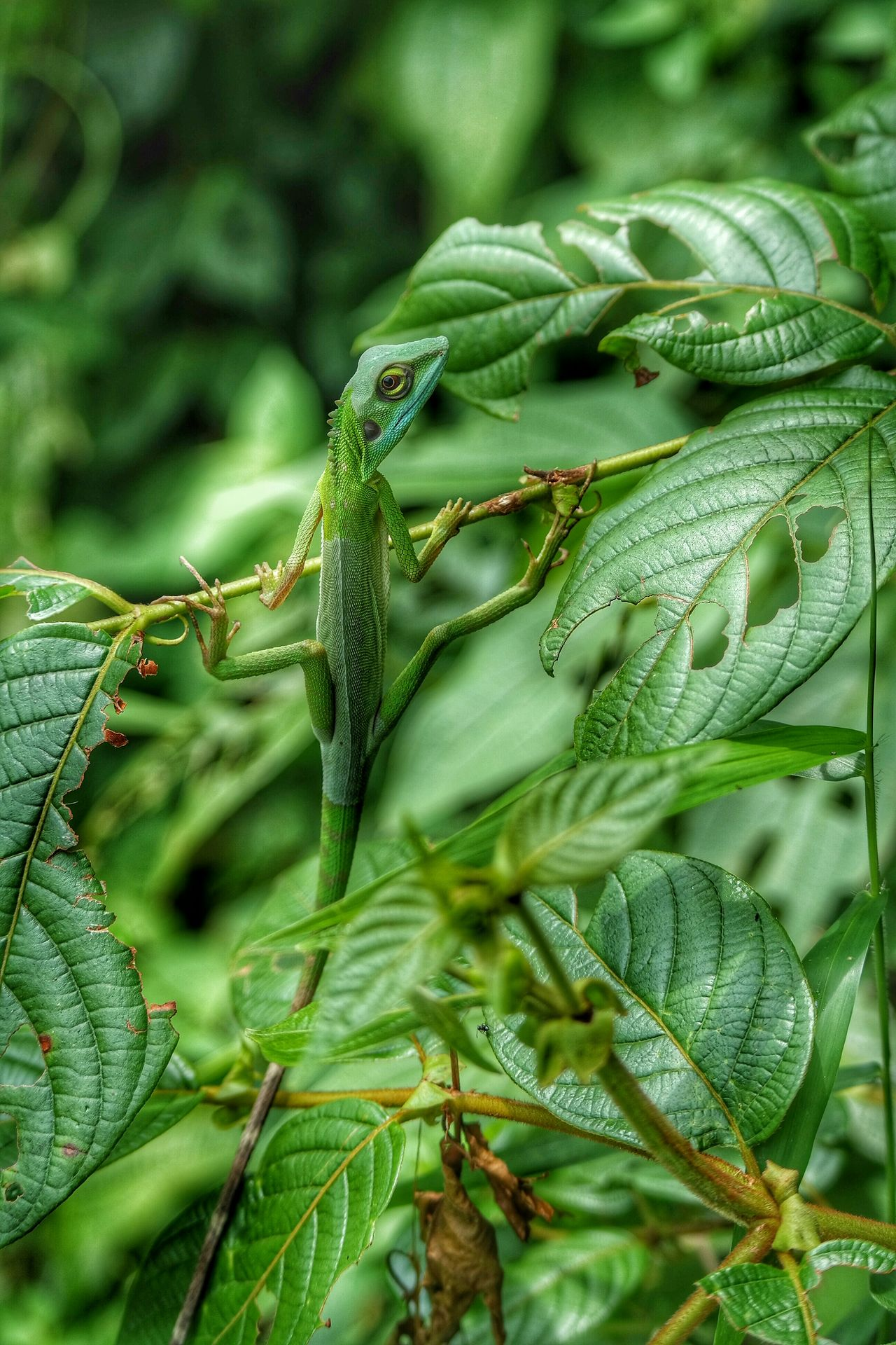 Long Tailed Green Lizard Lizard Lizards Lizard Watching EyeEm Nature Lover Eyeem Lizards EyeEm Best Shots - Nature EyeEmBestPics EyeEm Malaysia Capture The Moment