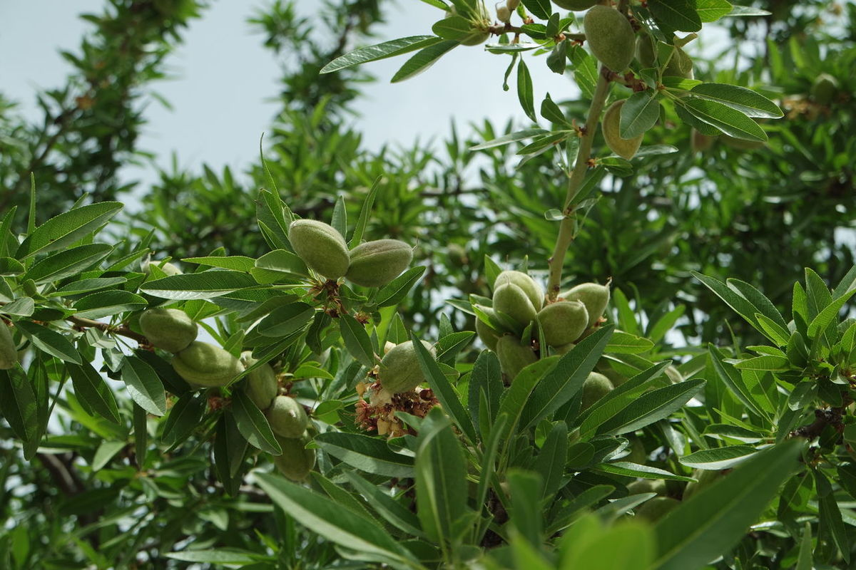 Almond Tree Almonds Beauty In Nature Branch Close-up Day Flower Food Freshness Green Color Growth Leaf Mandeln Nature No People Outdoors Plant Tree Spain♥