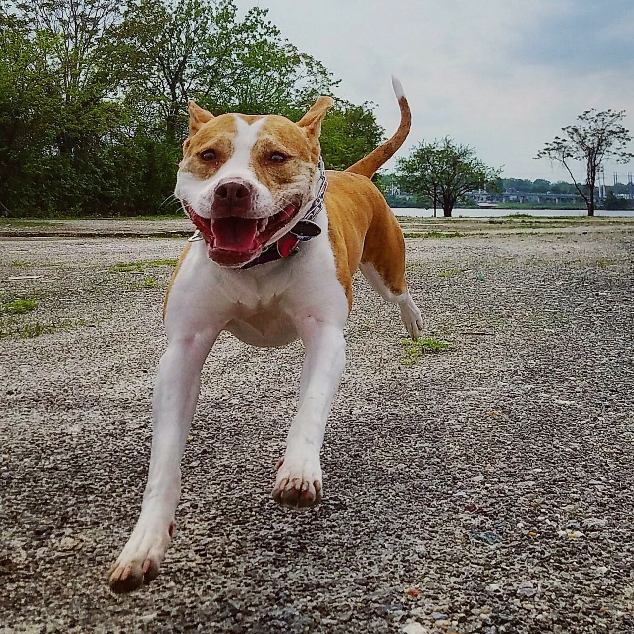 Dog Pets One Animal Domestic Animals Animal Themes Mammal Day Outdoors Protruding No People Full Length Sky Pitbull Pitbullove Best Friend