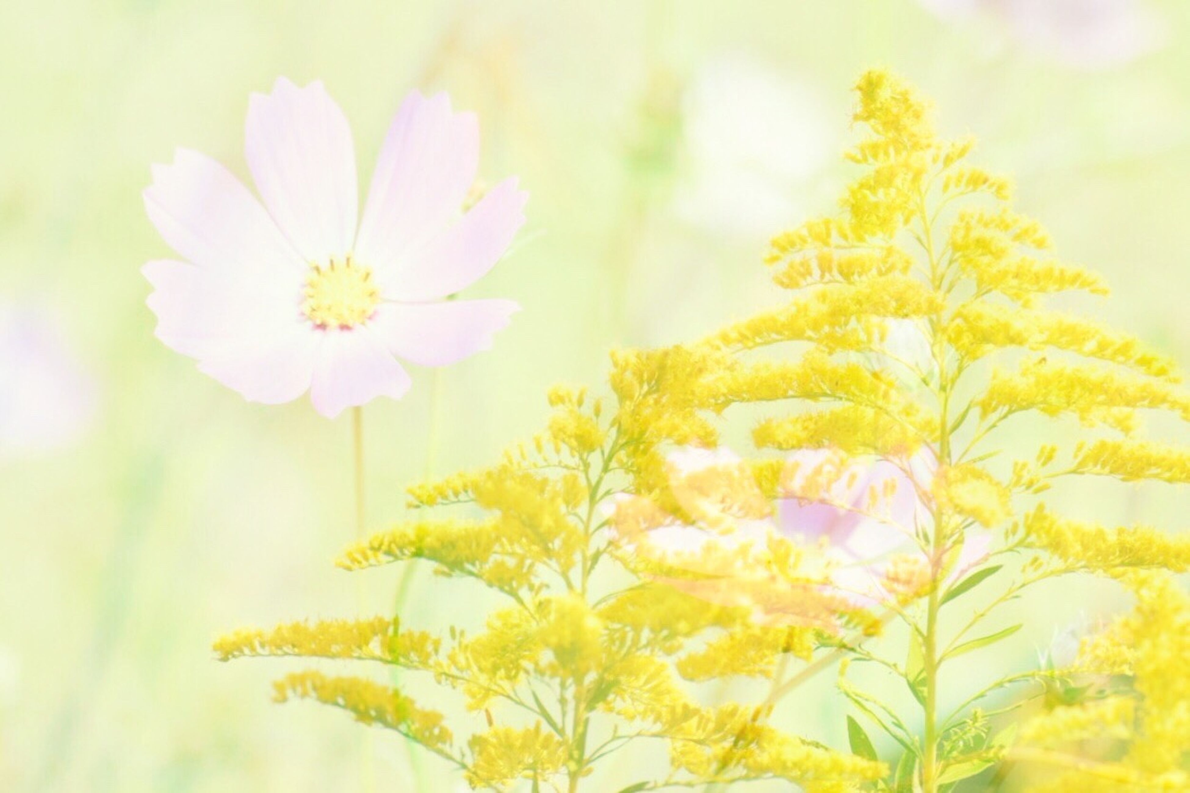 freshness, flower, fragility, petal, flower head, beauty in nature, growth, close-up, stem, nature, selective focus, season, springtime, white color, in bloom, daisy, plant, yellow, botany, blossom, day, outdoors, blooming, focus on foreground, pollen, daisies, bloom, no people, growing