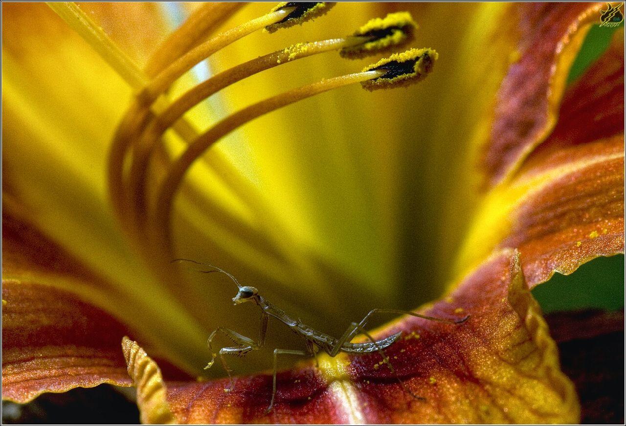 Close-Up Of Praying Mantis On Orange Flower