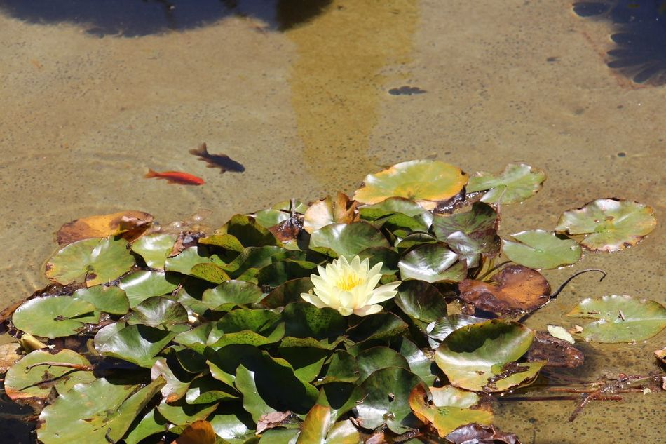 Nature Growth Sunlight Outdoors High Angle View Plant Day Flower Close-up Leaf No People Beauty In Nature Water Freshness Auckland Domain Auckland Winter Garden Lily Pond Golden Fish EyeEmNewHere