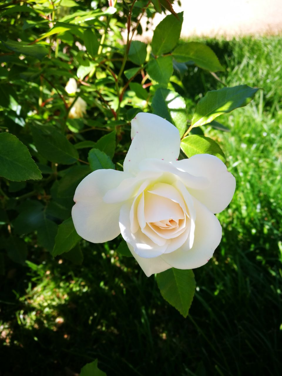 flower, petal, growth, nature, white color, beauty in nature, flower head, plant, fragility, rose - flower, no people, freshness, blooming, day, close-up, outdoors, tree