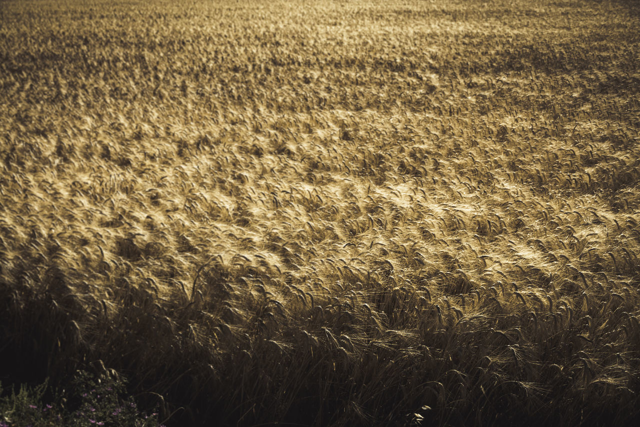 wheat fields.. Agriculture Beauty In Nature Cereal Plant Day Farm Field Golden Fields Growth High Angle View Nature No People Outdoors Rural Scene Scenics Sunlight Tranquility Wheat Wheat Field