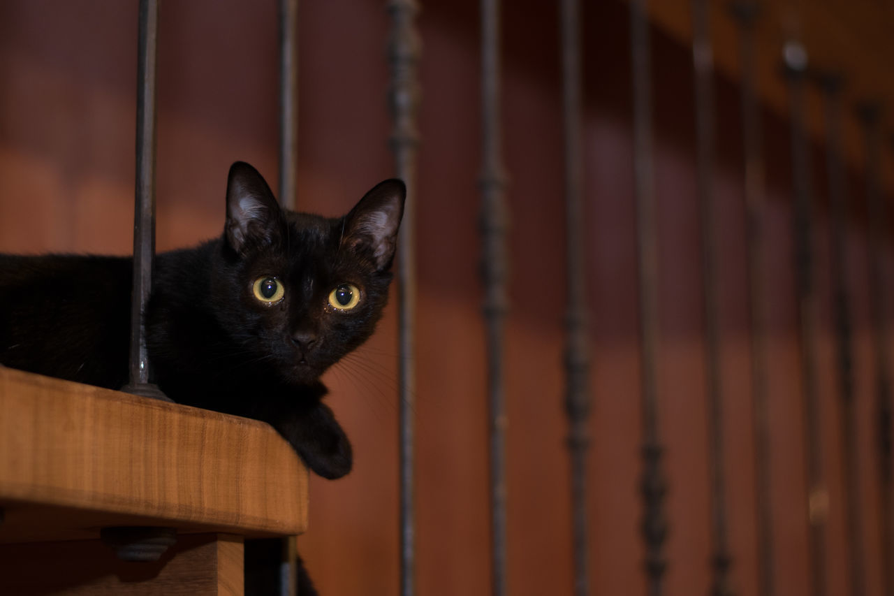 domestic cat, one animal, pets, wood - material, animal themes, domestic animals, mammal, feline, no people, looking at camera, black color, indoors, portrait, close-up, day