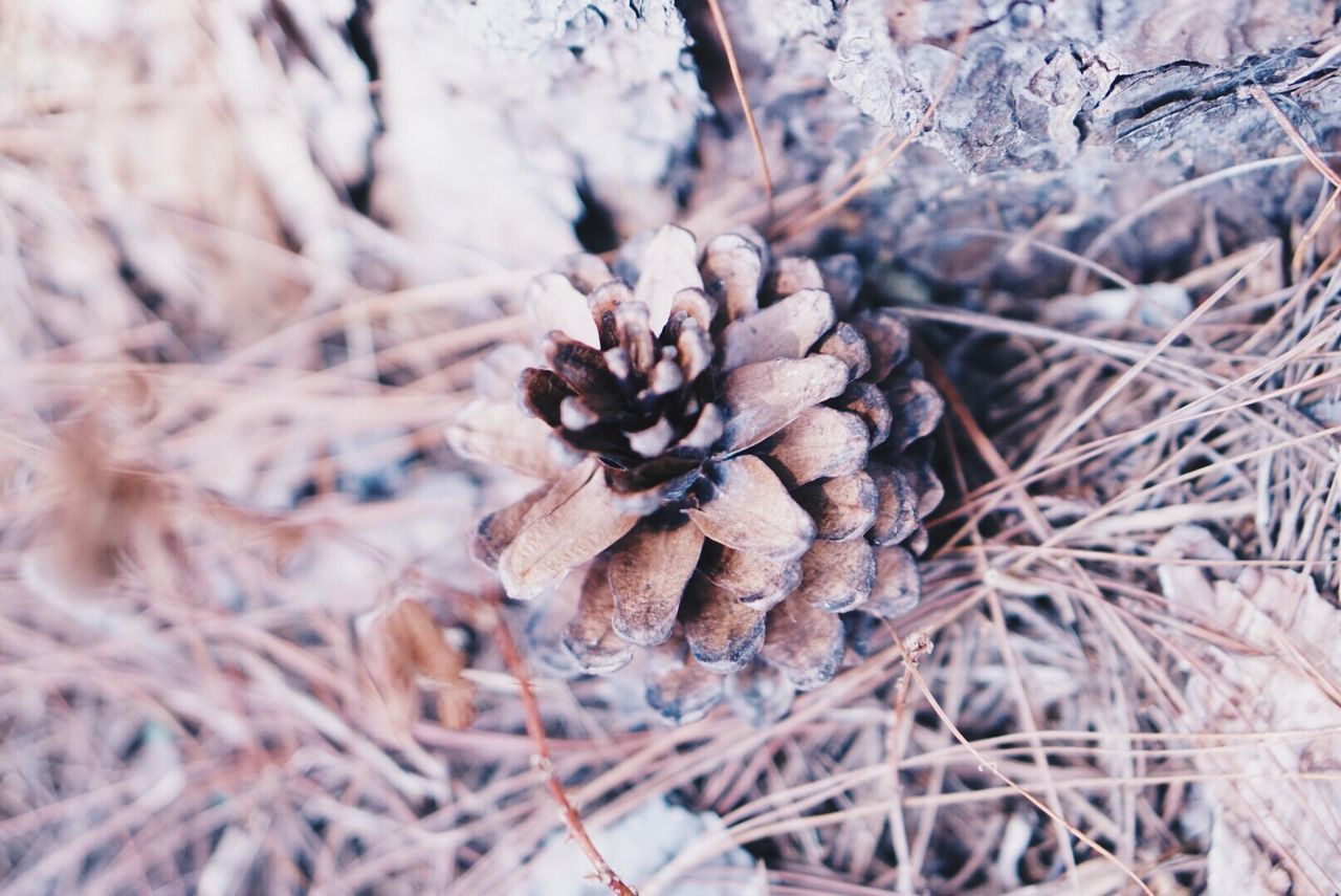 Pine Cone Nature Plant Dried Plant Beauty In Nature Christmas Brown Forest Season  Natural EyeEmNewHere EyeEmNewHere