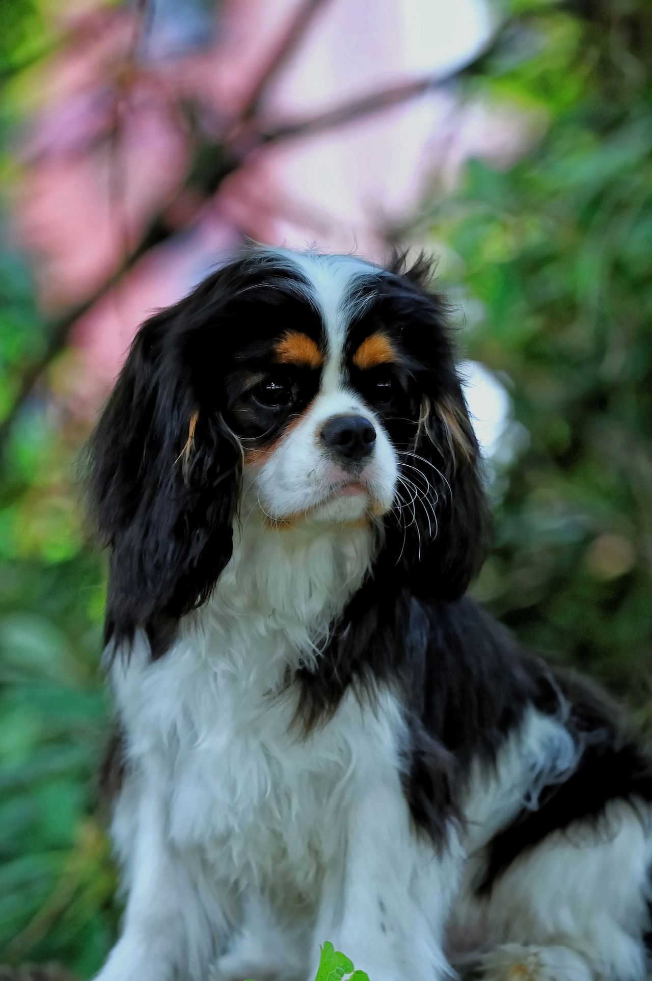 Spring portrait Beautiful Cavalier Cavalierkingcharlesspaniel Ckcs Cavalierking Cavalier King Charles Puppy Cavalier Dog Love