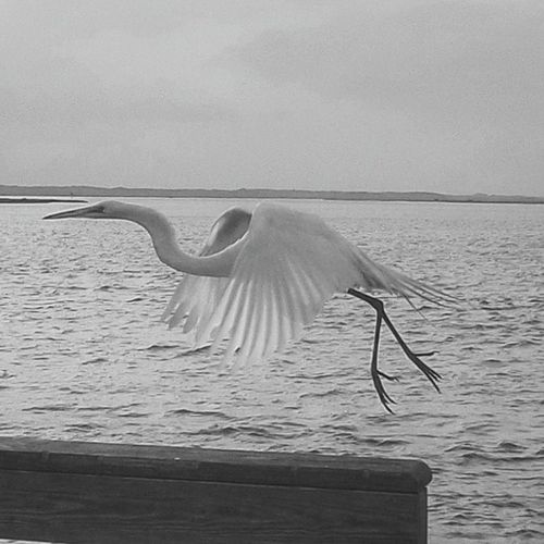 GreatEgret Auntkates Usinaboatramp Blacknwhite Igersstaugustine