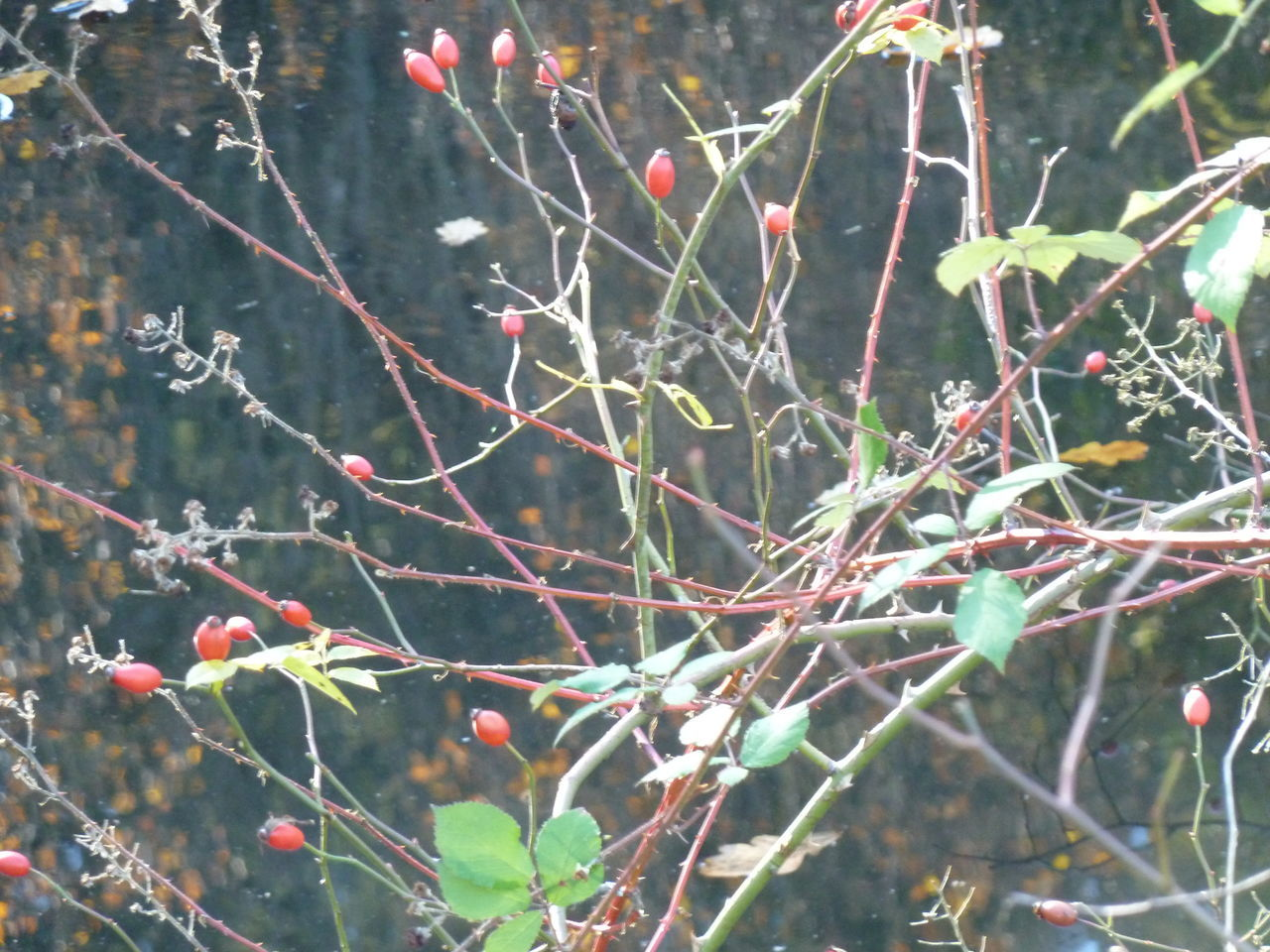 nature, day, tree, growth, branch, outdoors, no people, rose hip, twig, food and drink, fruit, beauty in nature, plant, close-up, freshness, food, winter, cold temperature