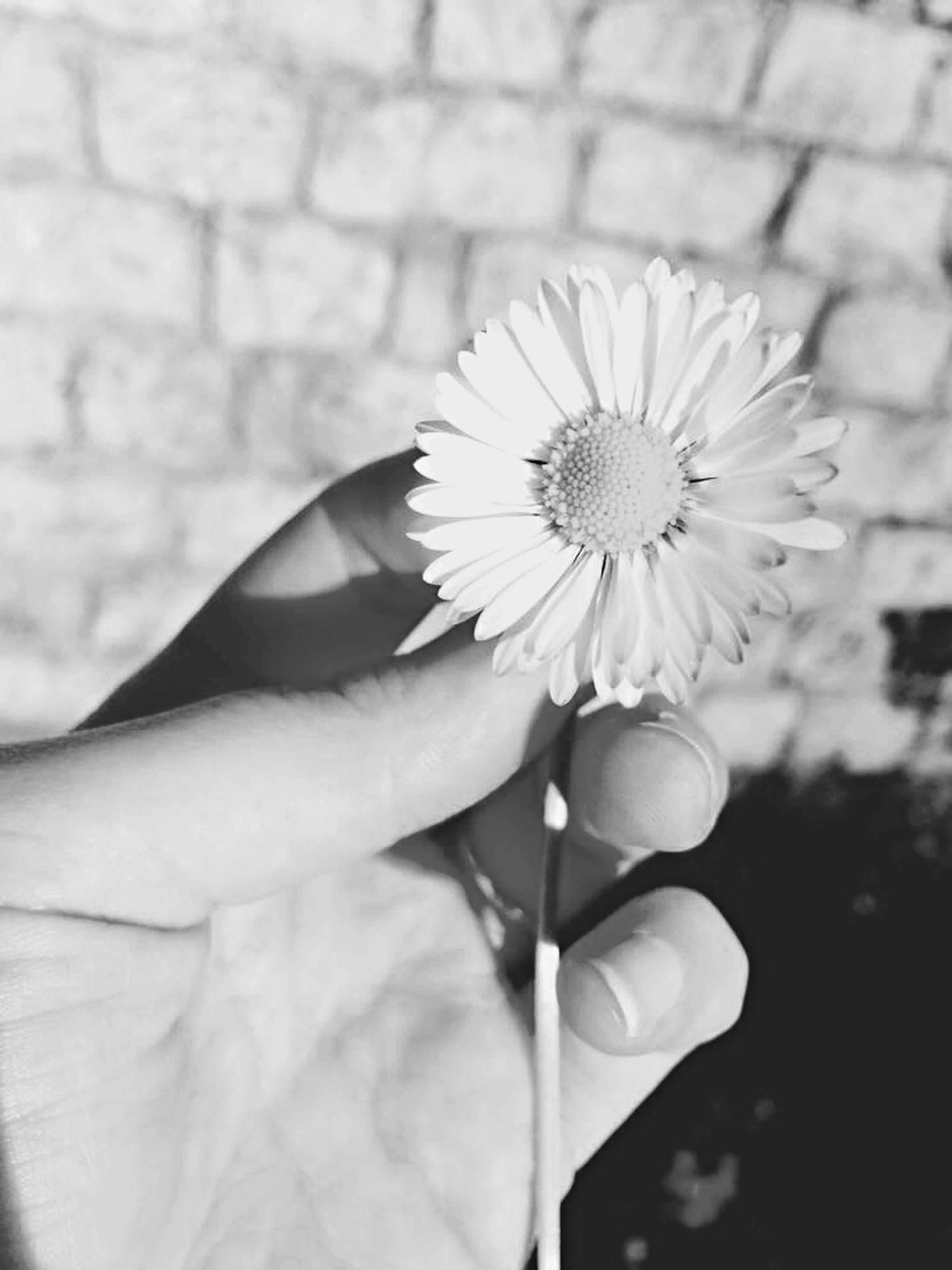 flower, person, freshness, flower head, fragility, petal, holding, single flower, part of, focus on foreground, close-up, pollen, human finger, beauty in nature, cropped, daisy, white color
