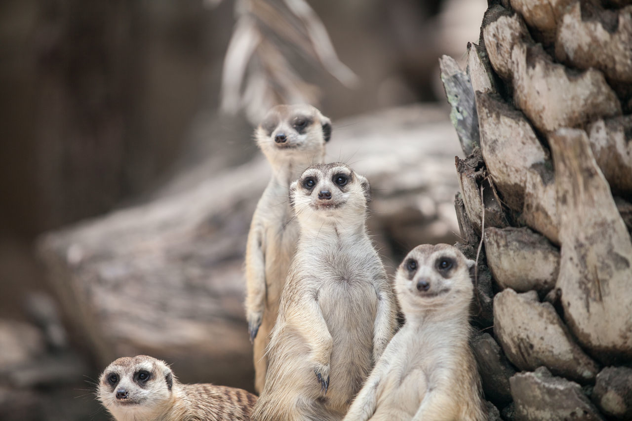 Animal Themes Animal Wildlife Animals In The Wild Close-up Day Focus On Foreground Mammal Meerkat Nature No People Outdoors Togetherness Tree