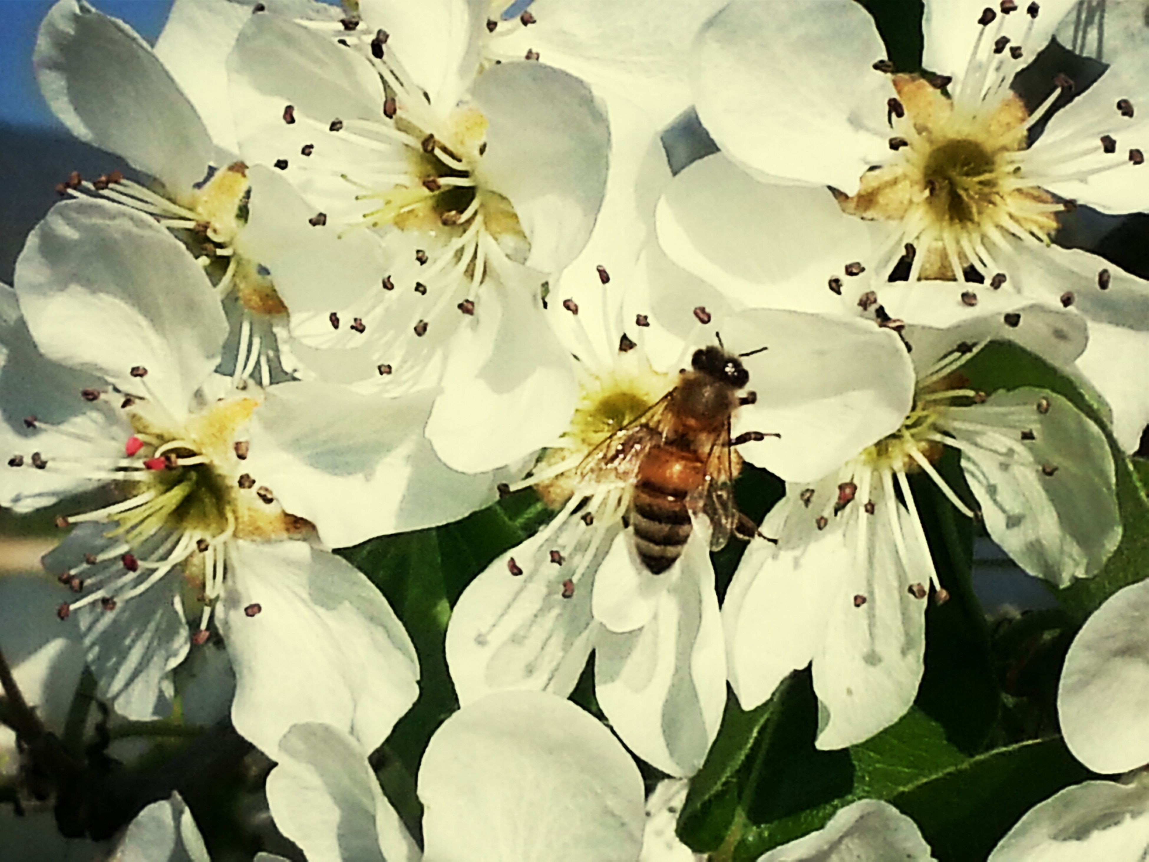 flower, animal themes, insect, animals in the wild, white color, wildlife, petal, fragility, freshness, one animal, flower head, beauty in nature, nature, pollen, bee, growth, pollination, close-up, white, blooming