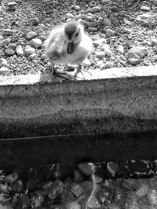 Nature Outdoors No People Day Water B&W Collection Black&white Nature Blackandwhite Photography B&w Patitos