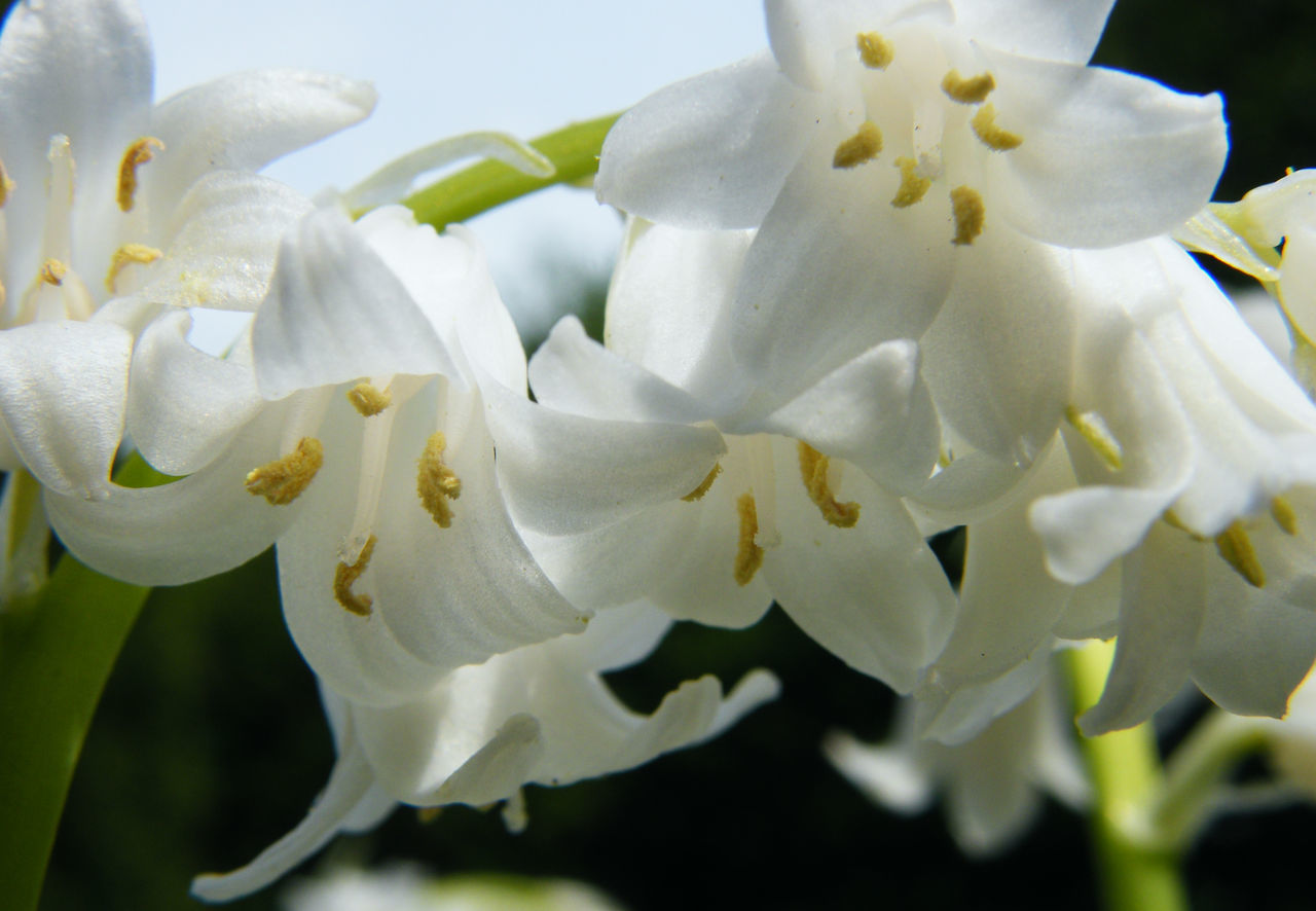 Beauty In Nature Blooming Close-up Day Flower Flower Head Fragility Freshness Garden Garden Flowers Garden Photography Growth Nature No People Outdoors Petal Springtime White Bells White Bells Flower White Color Whitebells