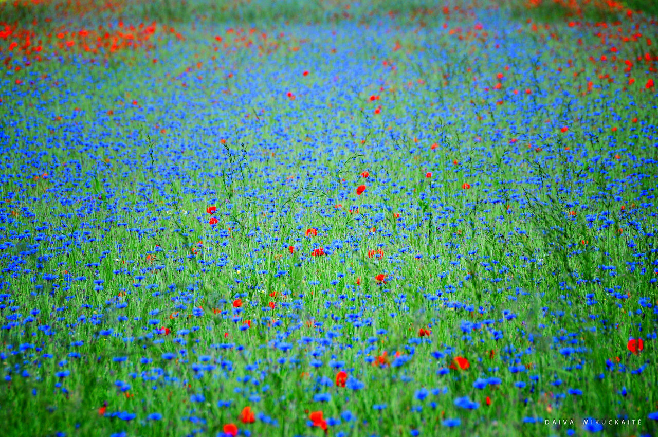 Castelluccio di Norcia Castelluccio Day Italy Nature No People Outdoors Poppy Fields Poppy Flowers Summer Summertime
