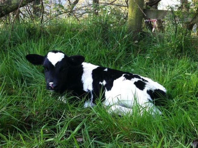 Calf Cows Field Photography Bovine Dairy Friesian Cow Heifer Farm Fence Stile Grassy