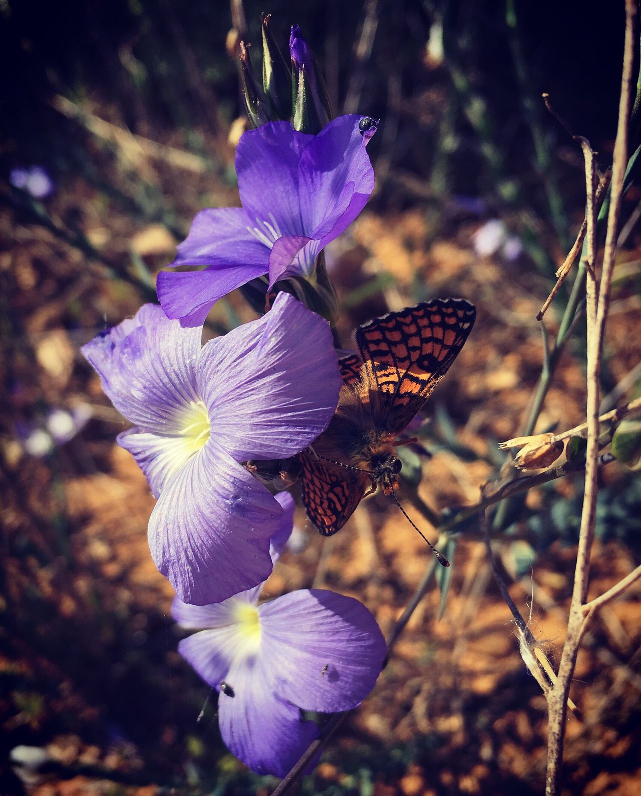 Butterfly Mariposa Nature Beauty In Nature Purple Flower Flor Countryside LeonEsp  SPAIN España