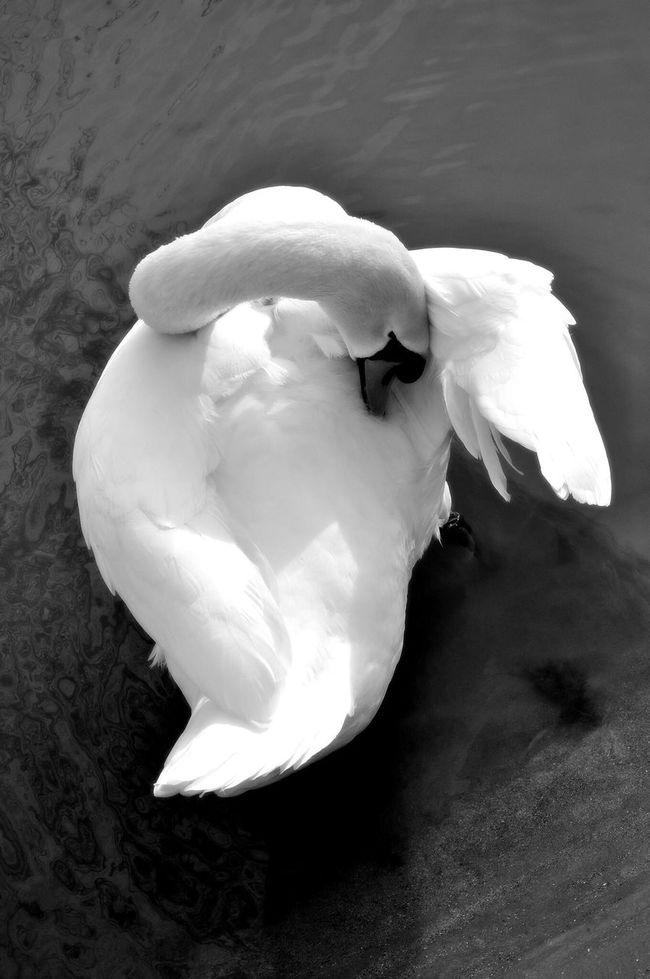Fais moi cygne ! Swans Cygne Bird Birds Bird Photography Birds_collection Birds Of EyeEm  Oiseaux Animals Blackandwhite Black & White Black And White Black And White Photography Blackandwhite Photography