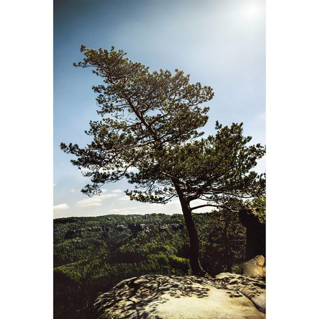 Ein Baum, der einsam auf einem Felsen in der Sächsische Schweiz Stande. CripixtMovement Michaellangerfotografie Landscape Sächsischeschweiz Fotografie Photography Photographyislife