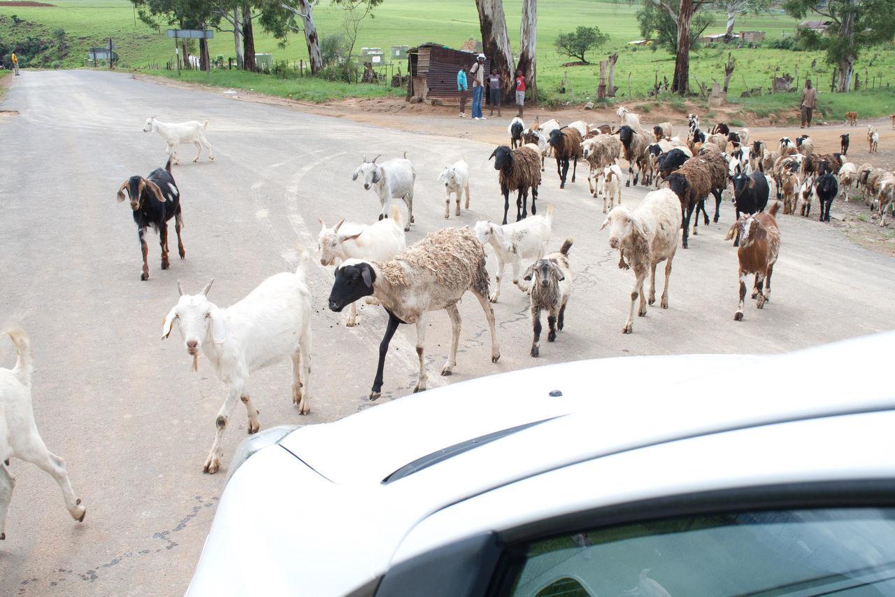 Beautiful stock photos of goat, Animal, Animal Themes, Car, Crossing