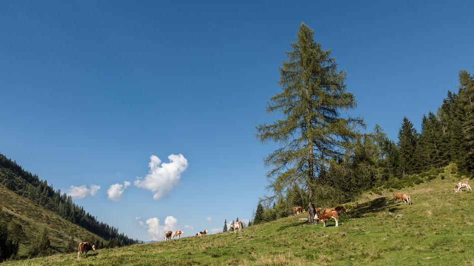 Agrar Alm Blau Bäume Grasen Gräser Grün Haustiere Himmel Keine Menschen Kulturlandschaft Kühe Landschaft Natur Steiermark Tag Weide Weiss Wolken Österreich