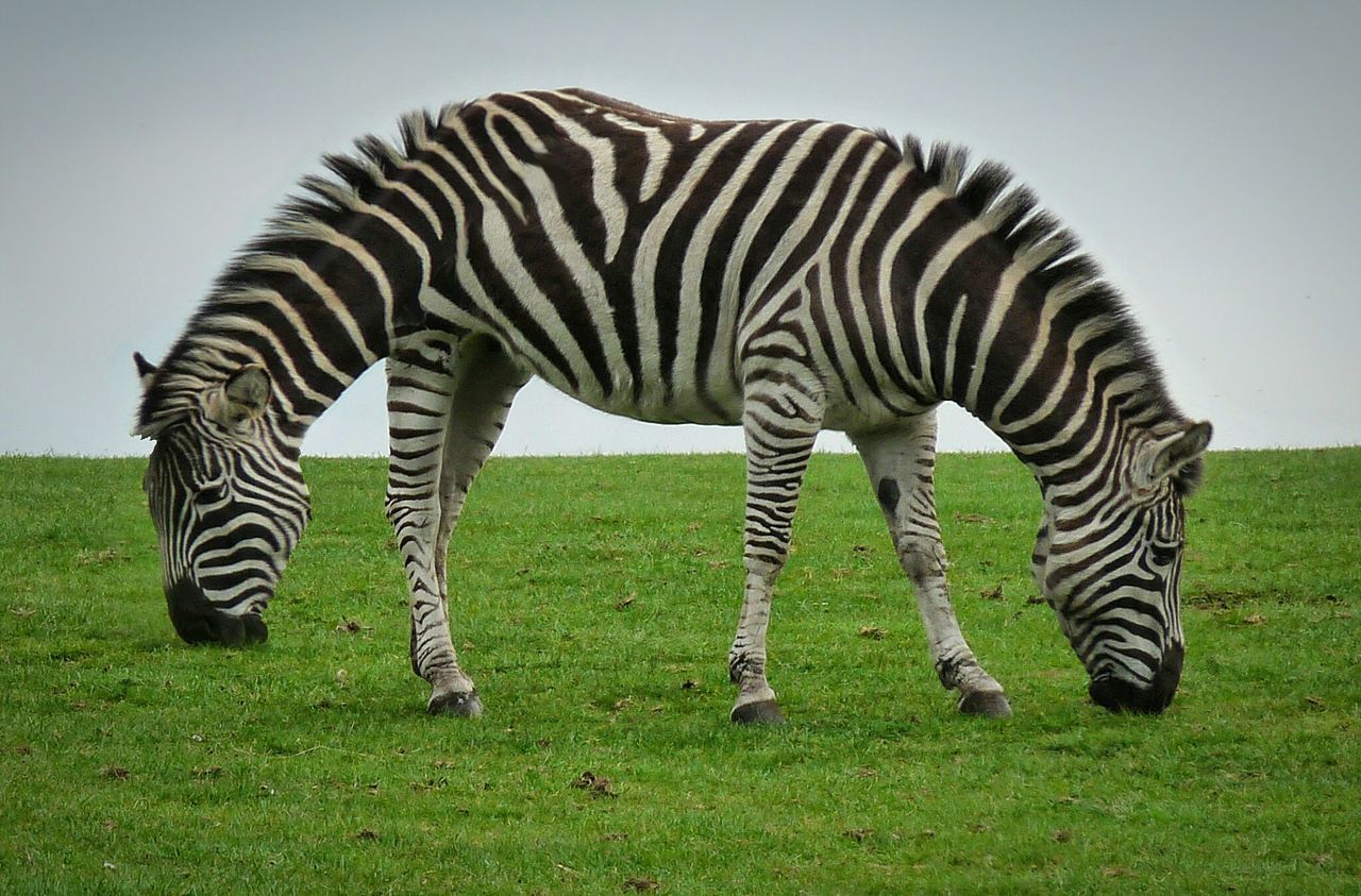 Zebra Animal Wildlife Animals In The Wild Grass Green Color Striped One Animal Outdoors Safari Animals Grazing Day Mammal Nature No People Animal Markings Animal Themes Beauty In Nature Sky 2 Heads Push Me, Pull You Dr Doolittle
