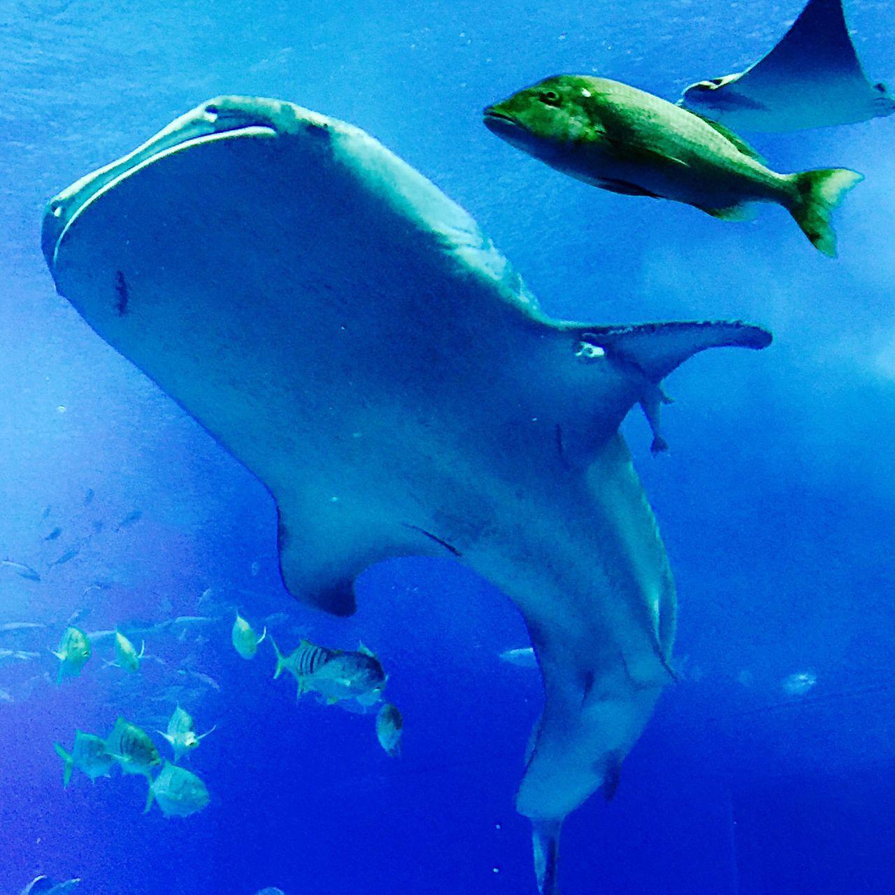 Okinawa churaumi aquarium Whale Shark Marlin Underwater Ocean Aquarium Okinawa Japan Blue Mantaray Fish