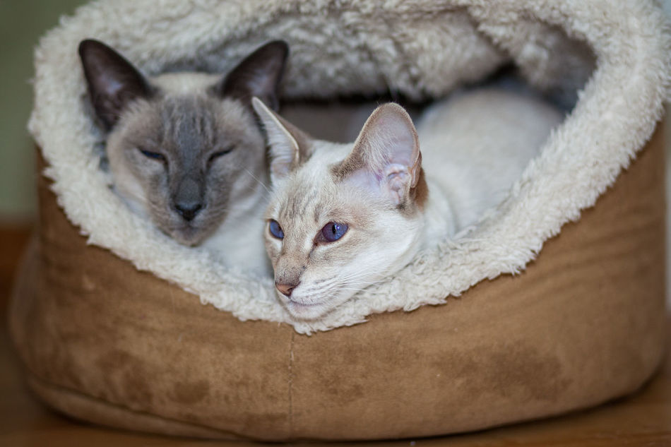 Animal Themes Close-up Domestic Animals Domestic Cat Feline Indoors  No People Pets Siamese Cat Siamesecats