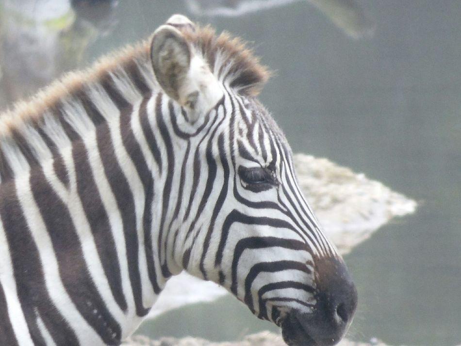 Zebra at Burgers Zoo Burgerszoo