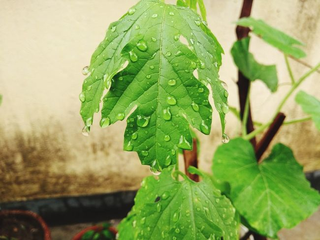 Leaf Plant Green Color Close-up Growth Nature No People Social Issues Day Outdoors Agriculture Vine - Plant Freshness Beauty In Nature Let's Go. Together.