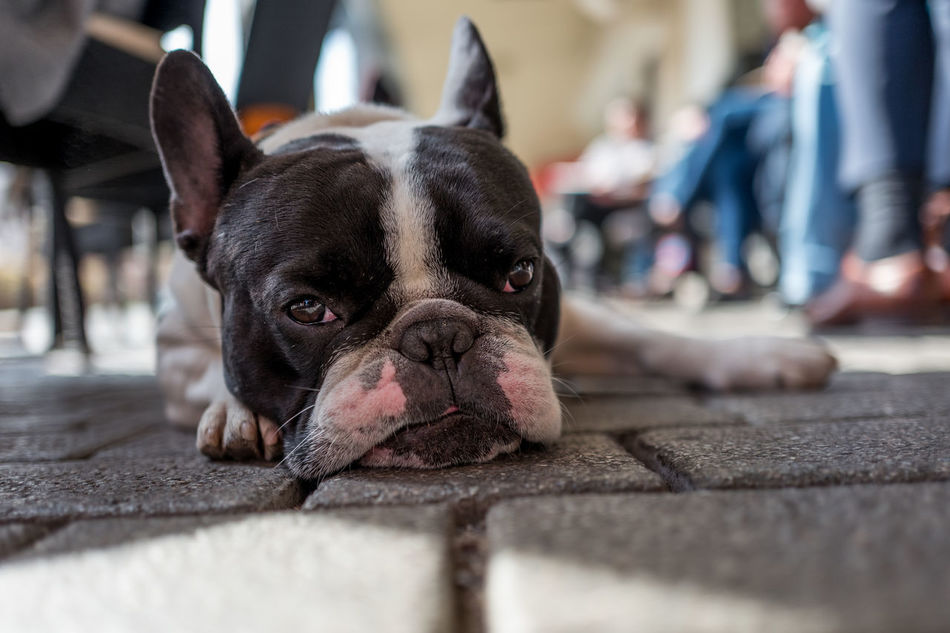 Henry I. in Frankfurt Animal Themes Boston Terrier Close-up Day Dog Domestic Animals French Bulldog Looking At Camera Mammal One Animal One Person Outdoors Pets Portrait
