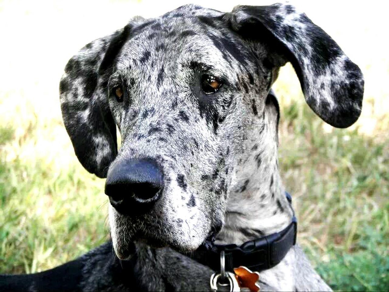 Dogs Great Dane Pets