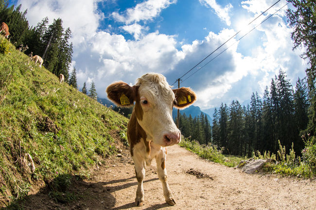 Lucky Cow / Jenner mountain Animal Themes Bavaria Berchtesgaden Cattle Cow Curiosity Domestic Animals Domestic Cattle Eyem Best Shots Field Fish-eye Lens Full Length Grass Grazing Herbivorous Kuh Livestock Mammal One Animal Relaxation Relaxing Standing Togetherness Two Animals Zoology