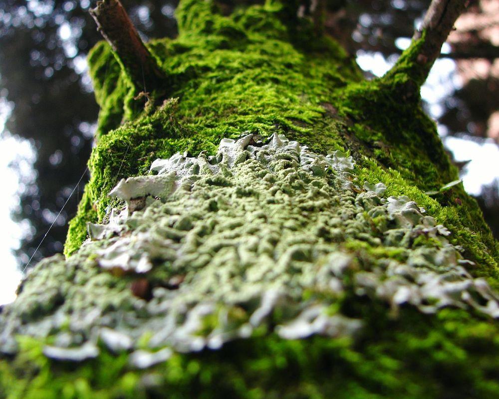 Linchen Pioneer Organism Organism Tree Nature Moss Tree Trunk Close-up Mutualismsymbiosis Biology BiologyAlbum