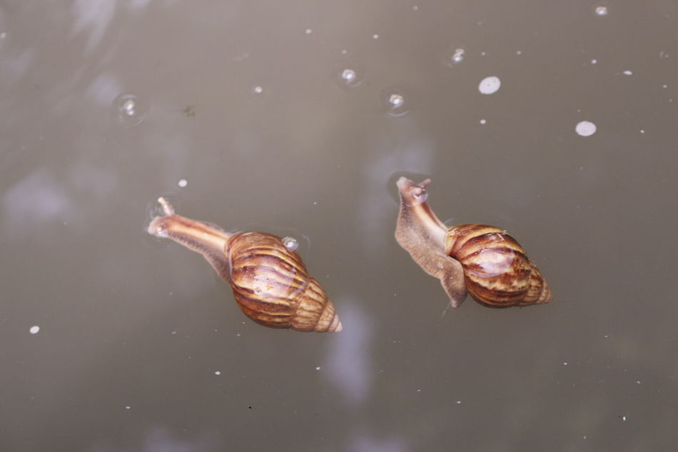 2 snails drifting in the river Animal Beauty In Nature Drifting Escargots Fresh Water Snail Mollusca Nature Pest River Snail Shell Snails Swimming Tranquility Water Water Surface Zoology