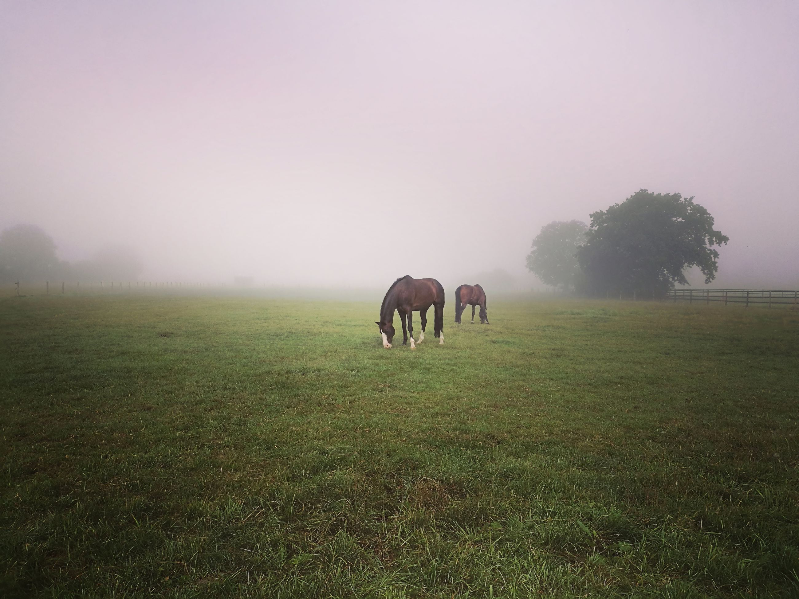 fog, animal themes, domestic animals, horse, grass, foggy, livestock, field, weather, tranquil scene, tranquility, full length, grazing, landscape, green color, copy space, mammal, herbivorous, nature, beauty in nature, grassy, pasture, scenics, green, day, mist, grass area, non-urban scene, rural scene, zoology