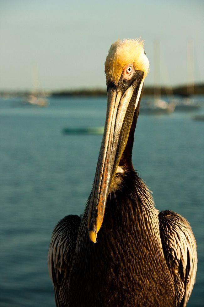Pelican Bird Florida Sarasota Golden Hour 43 Golden Moments Nature Showcase June