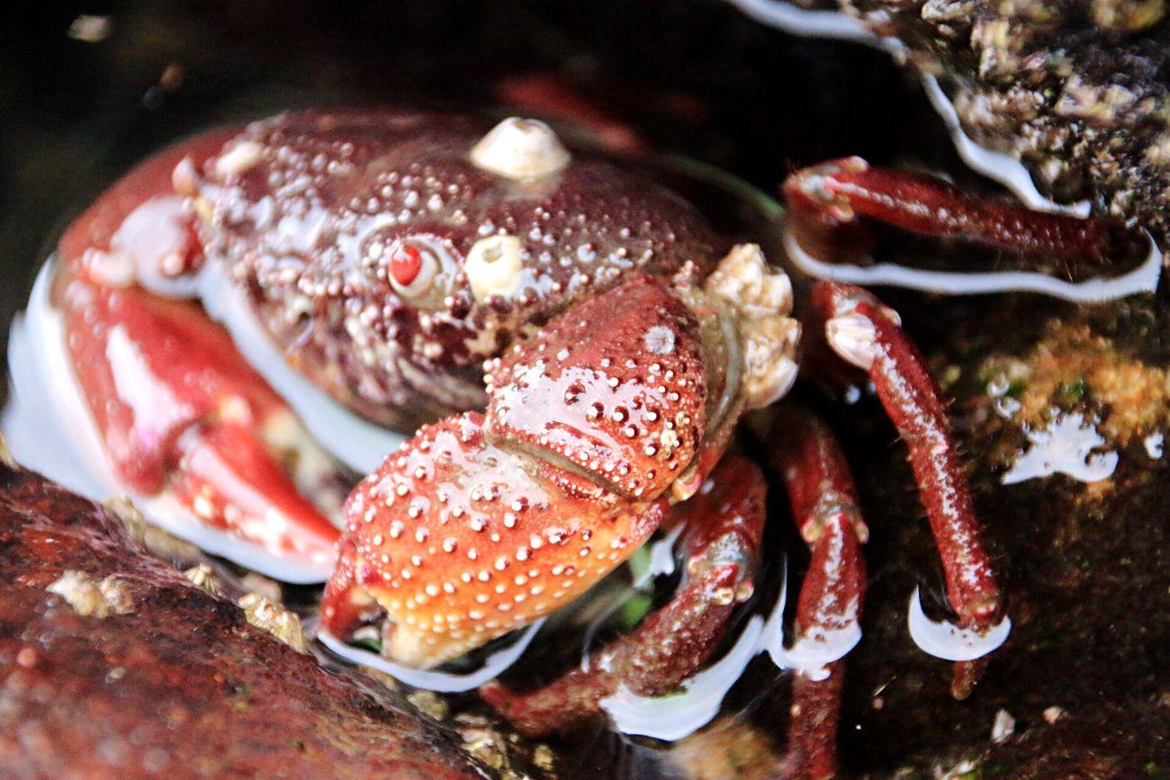 藤壺を背負った赤備えのカニ Red Crab Sea Life Is A Beach Nature Taking Photos EyeEm Nature Lover Nature Photography Textures And Surfaces Fujitsubo